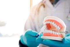 O close up do dentista da mão está guardando a exibição da maxila das dentaduras como a b fotos de stock royalty free