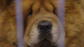 O close-up do focinho do cão de Chow Chow, animal orgulhoso manteve-se no captiveiro no abrigo do animal de estimação vídeos de arquivo
