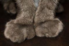 O close up do gato das pernas dianteiras Patas declawed imagem de stock