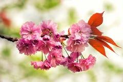 O close up do ramo de flores cor-de-rosa floresce na primavera Foto de Stock