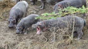 O close up do rebanho dos hipopótamos que contemplam que deixa de funcionar no rio da terra, uma com a boca larga abre imagem de stock