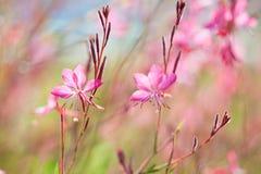 O close-up do rosa pequeno bonito floresce Siskiyou Gaura cor-de-rosa na luz solar na manhã do verão Artisti colorido Painterly Foto de Stock