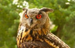 O close up do vermelho eyed a grande coruja horned que olha fixamente a direito imagens de stock