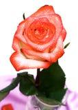 O Close-up do vermelho levantou-se Foto de Stock Royalty Free