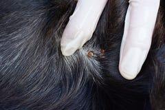 O close up do vermelho tiquetaqueia na pele do cão preto Fotos de Stock Royalty Free