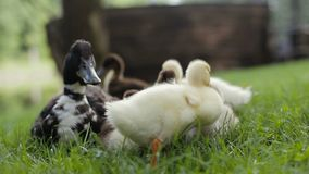 O close up dos patinhos grupo e o pato selvagem da mãe Duck em uma grama verde em um parque video estoque