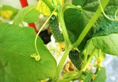 O close-up dos pepinos do close-up dos pepinos do jardim vegetal em uma estufa amadureceu imagem de stock royalty free