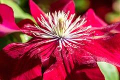 O close up ensolarado da clematite vermelha bonita da paixão floresce e pistilos Imagens de Stock Royalty Free