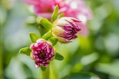 O close up macro da dália cor-de-rosa brota no verão fotografia de stock