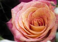 O close up macro de um doce aumentou Foto de Stock Royalty Free