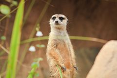 O close up Meerkat está estando vago no Forest Park imagem de stock royalty free