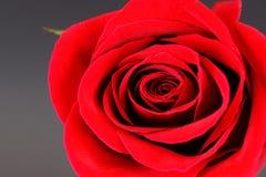 O Close-up no vermelho levantou-se Fotos de Stock Royalty Free