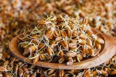 O close up sprouted grão do trigo Foto de Stock