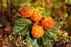 O Cloudberry cresce na floresta fotografia de stock royalty free