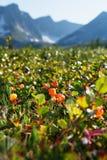 O Cloudberry cresce na floresta Carélia norte fotos de stock