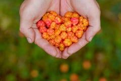 O Cloudberry cresce na floresta em Rússia foto de stock royalty free