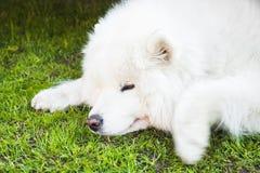O cão branco do Samoyed coloca em uma grama verde, close-up Fotografia de Stock Royalty Free
