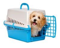 O cão de cachorrinho havanese feliz bonito está olhando para fora de uma caixa do animal de estimação Imagem de Stock Royalty Free
