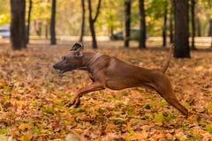 O cão de Rhodesian Ridgeback está correndo em Autumn Leaves Ground Foto de Stock Royalty Free