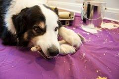 O cão mastiga a escova de pintura Fotos de Stock Royalty Free
