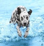 O cão nada e corre no mar ou no rio Imagens de Stock