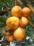 O coco do rei frutifica na árvore, dourada Imagens de Stock Royalty Free