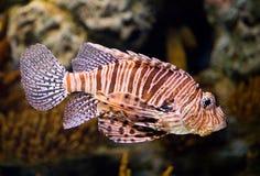 O coelacanth ocidental do Oceano Índico Fotos de Stock