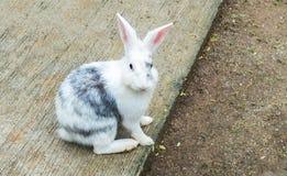 O coelhinho da Páscoa (branco e Gray Rabbit) senta-se e olhando à câmera Fotografia de Stock