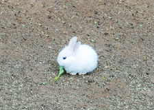 O coelhinho da Páscoa pequeno bonito do bebê (coelho branco) senta e come o vegetal Imagem de Stock Royalty Free