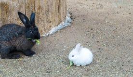 O coelhinho da Páscoa pequeno bonito do bebê (coelho branco) senta e come o vegetal na terra com coelho preto atrás Imagens de Stock Royalty Free