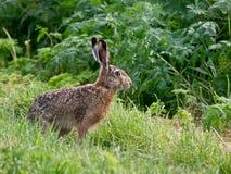 O coelho Foto de Stock