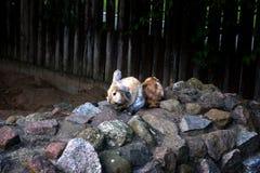 O coelho Fotografia de Stock