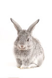 O coelho bonito adorável senta-se no branco Imagens de Stock Royalty Free