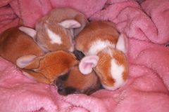 O coelho bonito do bebê do coelho poda o jogo Coelhos recém-nascidos imagem de stock