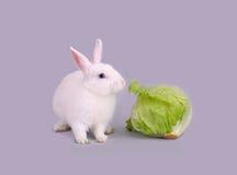 O coelho branco bonito come a alface Fotos de Stock Royalty Free