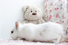 O coelho branco bonito está aspirando um urso de peluche Fotografia de Stock Royalty Free
