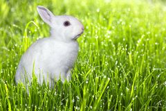 O coelho branco /bunny senta-se na grama verde fresca, conceito da Páscoa, lugar para o texto Foto de Stock