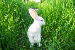 O coelho branco está em traseiro na grama Fotos de Stock Royalty Free