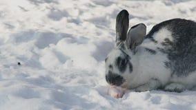 O coelho cinzento branco senta-se na neve no movimento lento da cenoura da roedura do parque filme