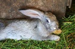 O coelho cinzento encontra-se em uma gaiola foto de stock royalty free