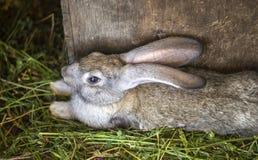 O coelho cinzento encontra-se em uma gaiola na grama imagem de stock