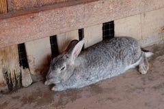 O coelho cinzento estabelece no assoalho Foto de Stock Royalty Free