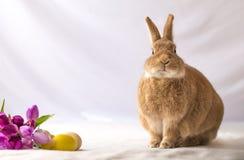 O coelho de coelhinho da Páscoa bronzeado e Rufus colorido faz expressões engraçadas contra flores macias do fundo e da tulipa no fotos de stock