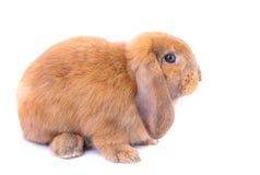 O coelho de coelho marrom pequeno com orelhas longas fica no fundo branco imagens de stock