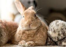 O coelho de coelho de Rufus olha bonito cercado por brinquedos na iluminação macia, tons neutros do fluff do luxuoso imagens de stock royalty free