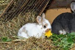 O coelho do amor da família murmura e pouco cutie que olha em torno de seu fim do ninho do feno acima do retrato Foto de Stock