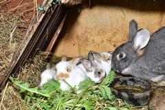 O coelho do amor da família murmura e pouco cutie que olha em torno de seu fim do ninho do feno acima do retrato Fotografia de Stock Royalty Free