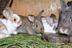 O coelho do amor da família murmura e pouco cutie que olha em torno de seu fim do ninho do feno acima do retrato Imagem de Stock Royalty Free