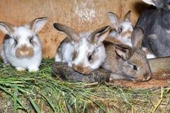 O coelho do amor da família murmura e pouco cutie que olha em torno de seu fim do ninho do feno acima do retrato Fotos de Stock