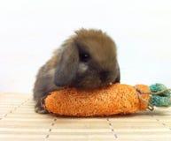 O coelho do bebê de Holland Lop da concha de tartaruga senta-se na esteira imagens de stock royalty free